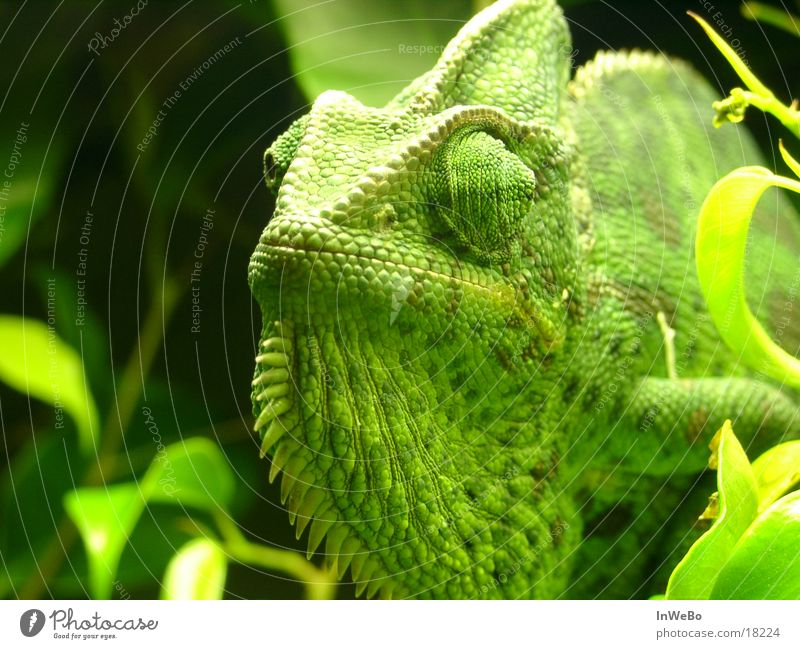 chameleon Yemen Reptiles Green Leaf calyptrate Close-up