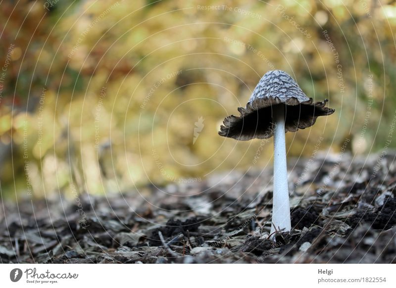 Coprinus comatus... Environment Nature Autumn Beautiful weather Park Stand Growth Authentic Exceptional Uniqueness Small Natural Brown Yellow Gray White