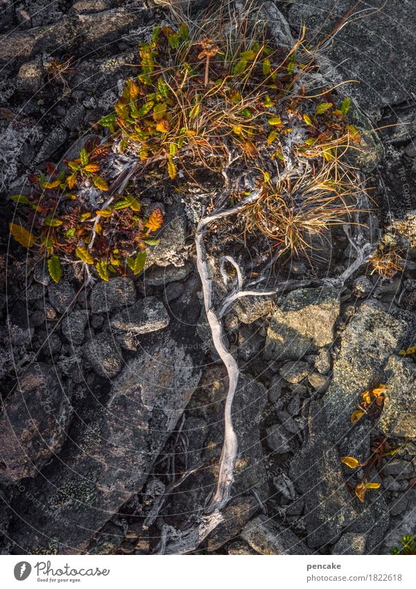 life tree Nature Plant Elements Earth Autumn Tree Rock Esthetic Strong Dry The North Cape Vacation in Norway Autumnal colours Moss Lichen Root Thuja Vigor