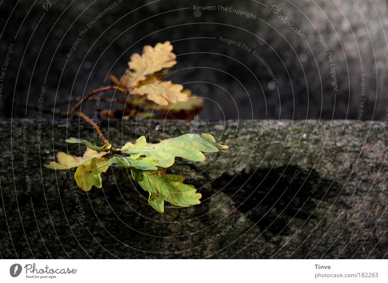 Nature Old Tree Plant Calm Leaf Loneliness Dark Autumn Death Sadness Wall (barrier) Oak tree Grief Shadow End