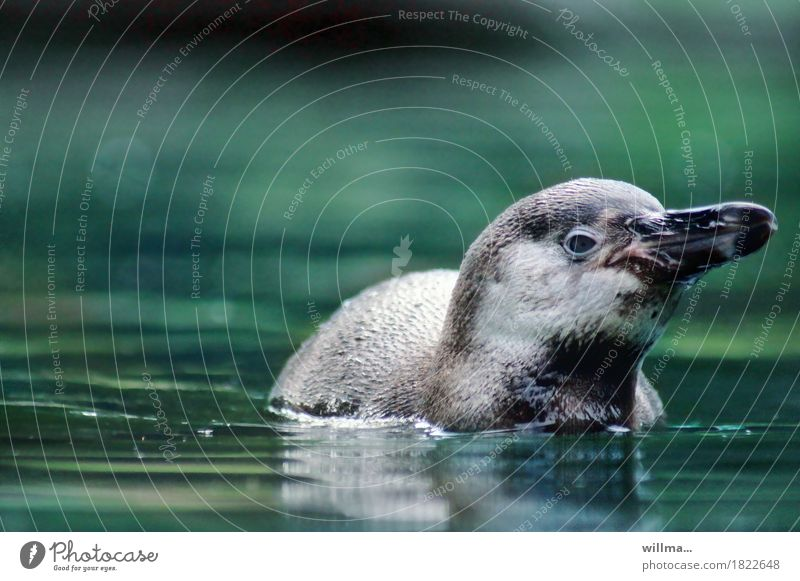 small alex from and to Wild animal Penguin Humboldt Penguin Web-footed birds Swimming & Bathing Green Turquoise Water Surface of water Colour photo