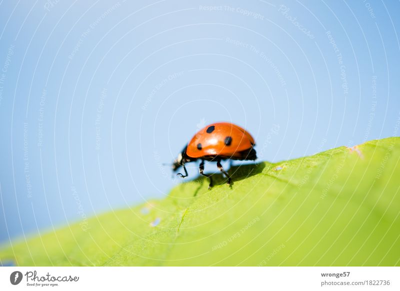 Nature Blue Summer Green Red Leaf Animal Black Autumn Small Happy Wild animal Walking Insect Beetle Crawl
