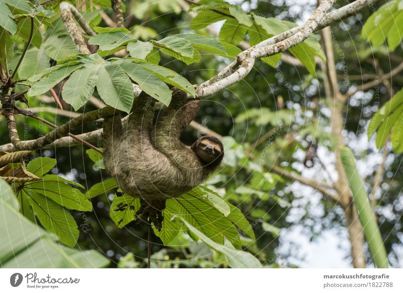 Sloth in Costa Rica 2 Nature Tree Moss Foliage plant Wild plant Virgin forest Animal Wild animal Animal face Claw Paw 1 To hold on To enjoy Hang Smiling Looking