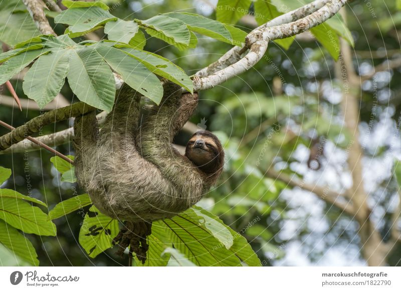 Sloth in Costa Rica 1 Nature Beautiful weather Plant Tree Moss Leaf Foliage plant Wild plant Virgin forest Animal Pelt Claw Paw To hold on To enjoy Hang Looking