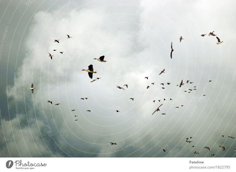 swarming sky Environment Nature Animal Sky Clouds Storm clouds Autumn Bad weather Wild animal Bird Wing Flock Dark Far-off places Free Natural Gray Goose