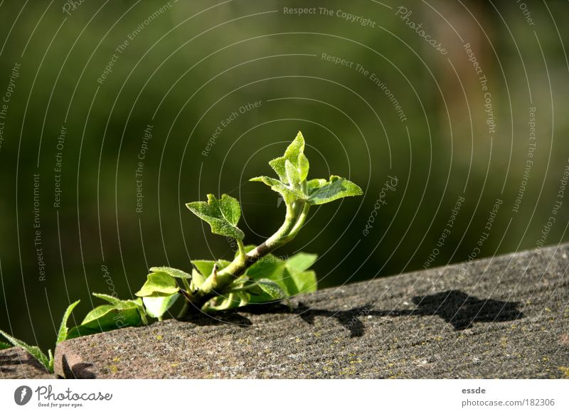 Nature Green Plant Leaf Calm Wall (building) Gray Spring Stone Wall (barrier) Power Energy Fresh Growth New Natural