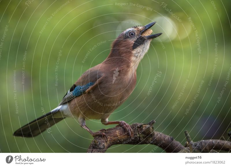 jays Environment Nature Animal Beautiful weather Plant Tree Garden Park Meadow Forest Wild animal Bird Animal face Wing Jay 1 Observe To feed Feeding Sit