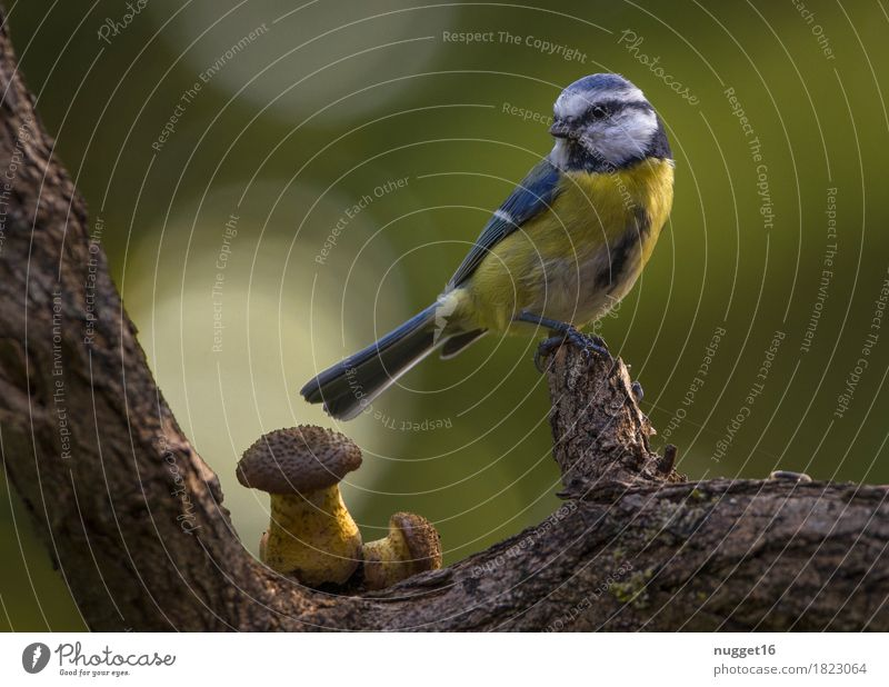 Blue Tit Environment Nature Animal Spring Summer Autumn Tree Branch Mushroom Garden Park Meadow Forest Wild animal Bird Wing Tit mouse 1 Observe Sit Esthetic