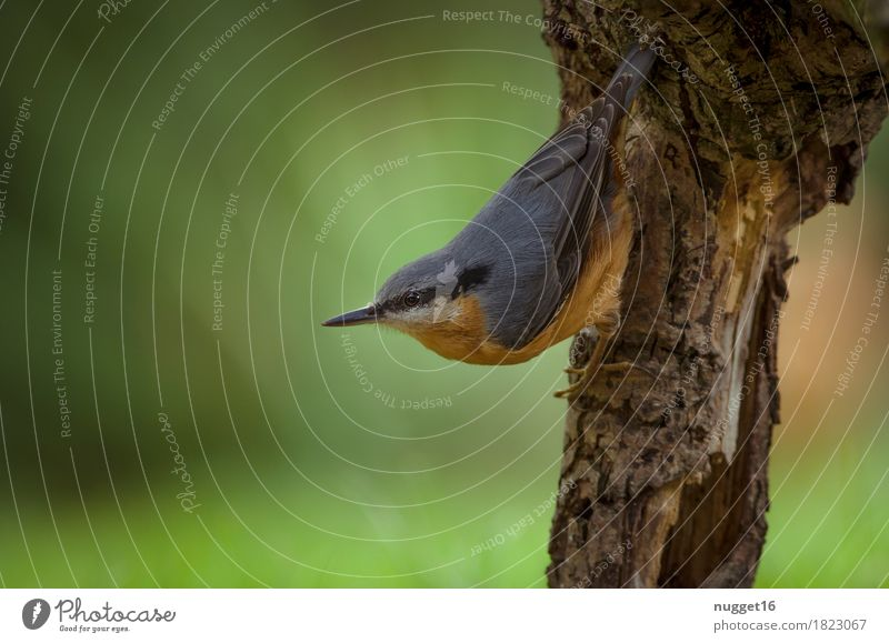 nuthatch Nature Animal Spring Summer Garden Forest Wild animal Bird Eurasian nuthatch 1 Observe Hang Esthetic Near Blue Brown Green Orange Colour photo
