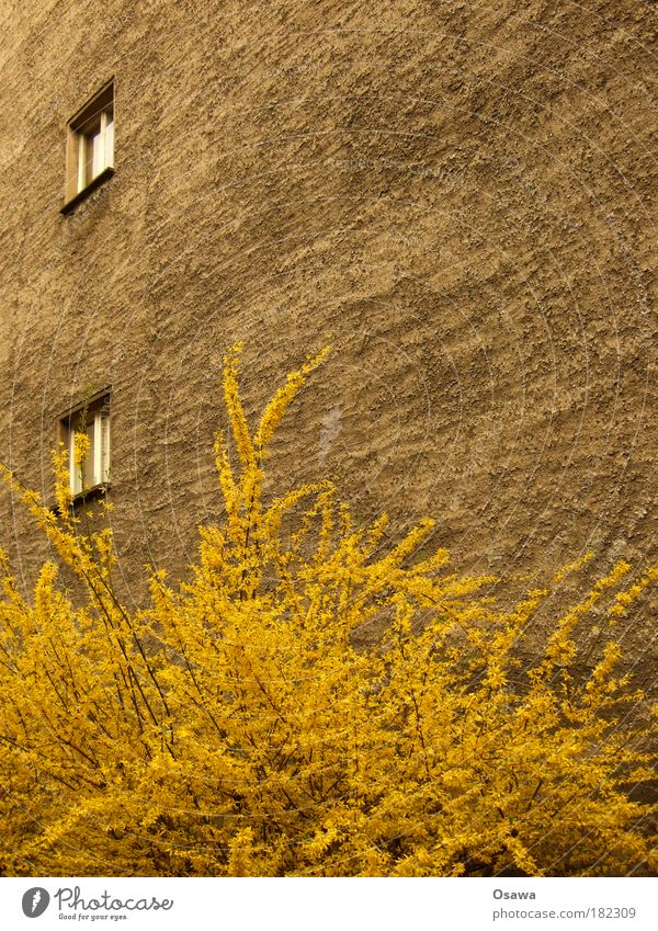 Urban Spring Wall (barrier) Fire wall House (Residential Structure) Building Plaster Wall (building) Window 2 Bushes Plant Blossom Yellow Twig Town Seasons