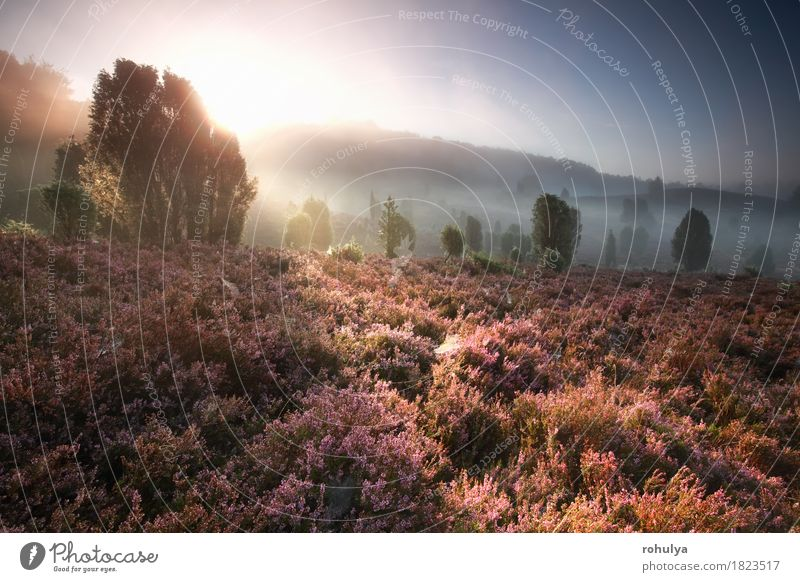 foggy sunrise over hills with flowering heather Vacation & Travel Adventure Summer Sun Hiking Nature Landscape Sky Fog Tree Flower Meadow Forest Hill Pink