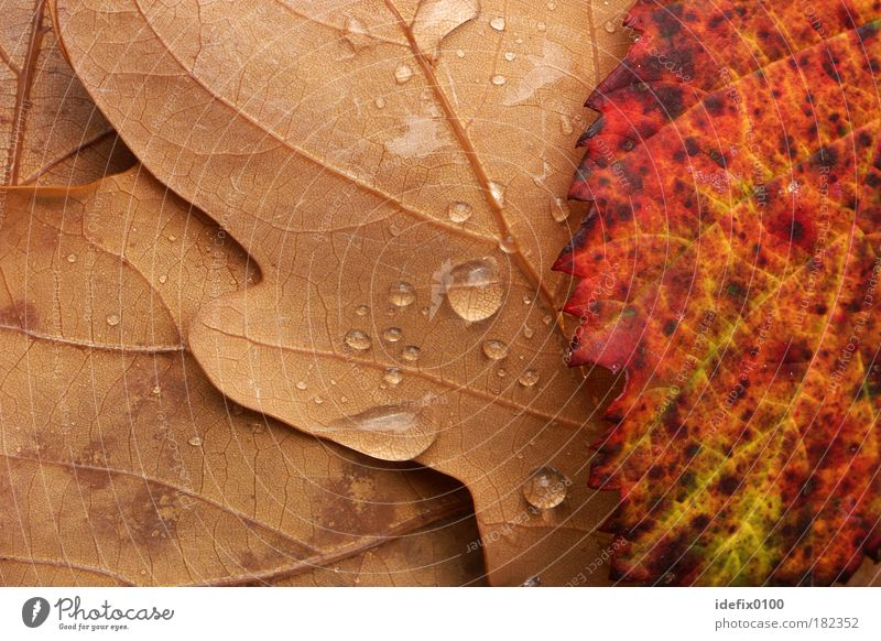 Nature Red Leaf Yellow Autumn Rain Brown Drops of water Macro (Extreme close-up) Bad weather