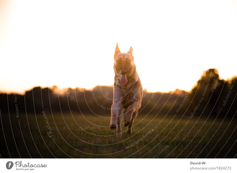 German shepherd dog Healthy Life Leisure and hobbies Environment Nature Landscape Sun Sunrise Sunset Sunlight Summer Beautiful weather Warmth Meadow Animal Pet
