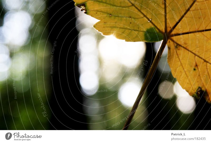 Autumn is here! Colour photo Exterior shot Macro (Extreme close-up) Pattern Contrast Shallow depth of field Tree Leaf To fall Thin Yellow Green Loneliness