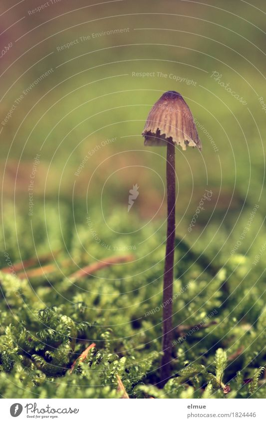 stalk-resistant Nature Plant Autumn Moss Mushroom Mushroom cap Stalk poisonous mushroom Forest Hat in proper style Still Life Umbrellas & Shades patronage Stand