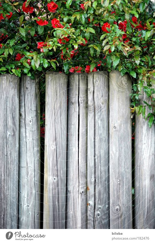 Nature Green Plant Red Summer Calm Garden Gray Park Background picture Dangerous Bushes Border Structures and shapes Illustration Fence