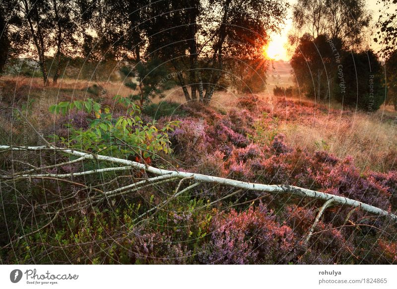 morning sunlight over flowering heather in birch forest Summer Sun Nature Landscape Autumn Tree Flower Blossom Forest Hill Wild Pink sunshine gold orange