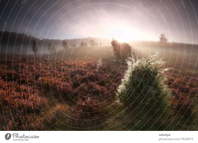 foggy sunrise over hills with unipers and heather Nature Plant Summer Sun Tree Flower Landscape Forest Blossom Germany Pink Wild Fog Vantage point Hill Seasons