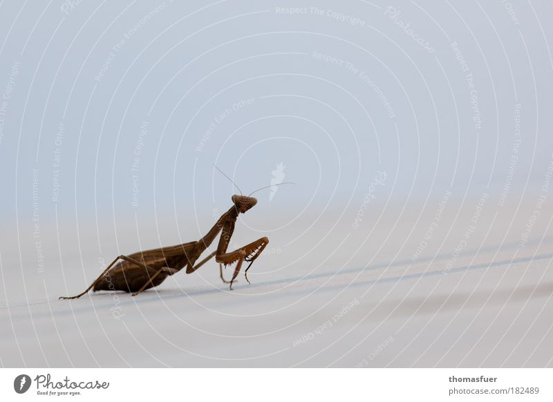 Nature Animal Relaxation Brown Elegant Environment Insect Curiosity Interest Crawl Praying mantis