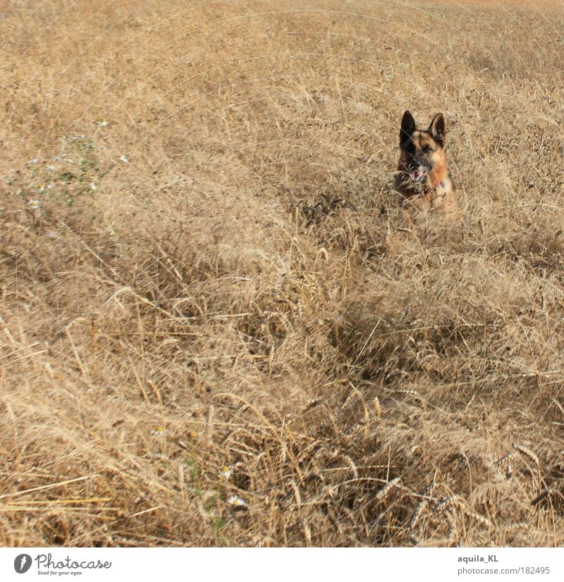 incognito Colour photo Exterior shot Structures and shapes Deserted Day Warmth Field Animal Pet Dog Planning German Shepherd Dog Observe Hide Rye