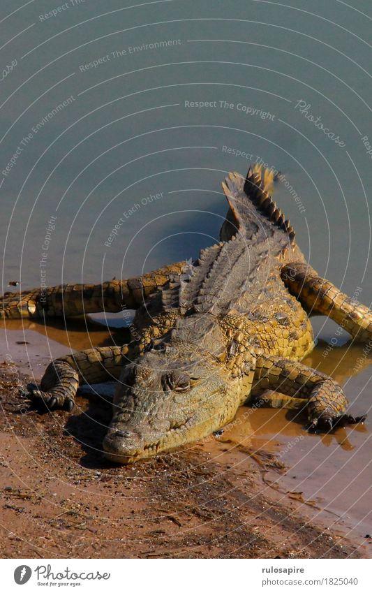 safari microcodile Hunting Vacation & Travel Adventure Safari Nature Animal Water Lakeside River bank Wild animal Scales Claw Crocodile 1 Aggression Dangerous