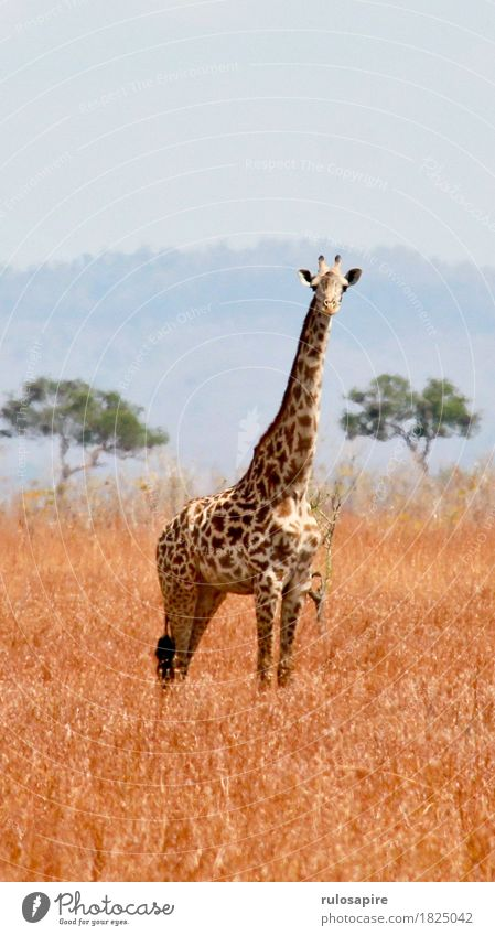 safari giraffe Vacation & Travel Adventure Far-off places Safari Expedition Camping Summer Environment Nature Landscape Animal Earth Sky Drought Meadow Hill
