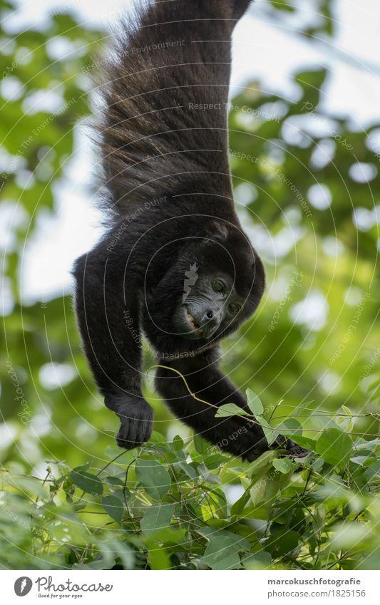Jacket-bellied howler monkey Nature Virgin forest Animal Wild animal Animal face Pelt Paw Monkeys 1 Eating To hold on Hang Illuminate Costa Rica South America