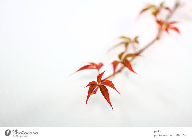wild wine I Plant Autumn Leaf Growth Long Natural Speed Green Red Nature Virginia Creeper Colour photo Multicoloured Studio shot Close-up Deserted