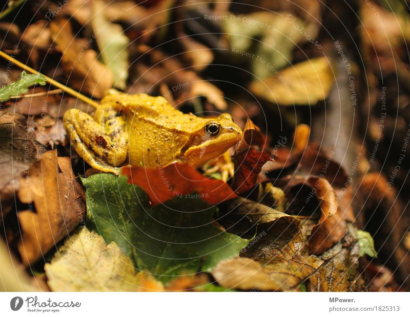 well separated Environment Nature Forest Animal Frog 1 Breathe Hideous Tree frog Autumn Leaf Multicoloured Yellow Painted frog Eyes Sit Wait Slimy Colour photo