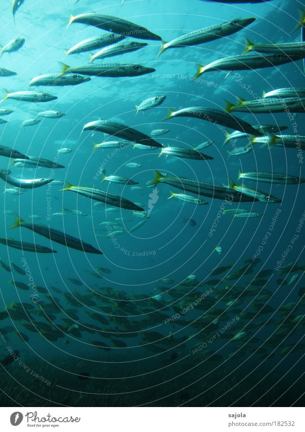 Water Ocean Blue Animal Yellow Underwater photo Environment Fish Group of animals Asia Wild animal Silver Elements Flock Portrait format