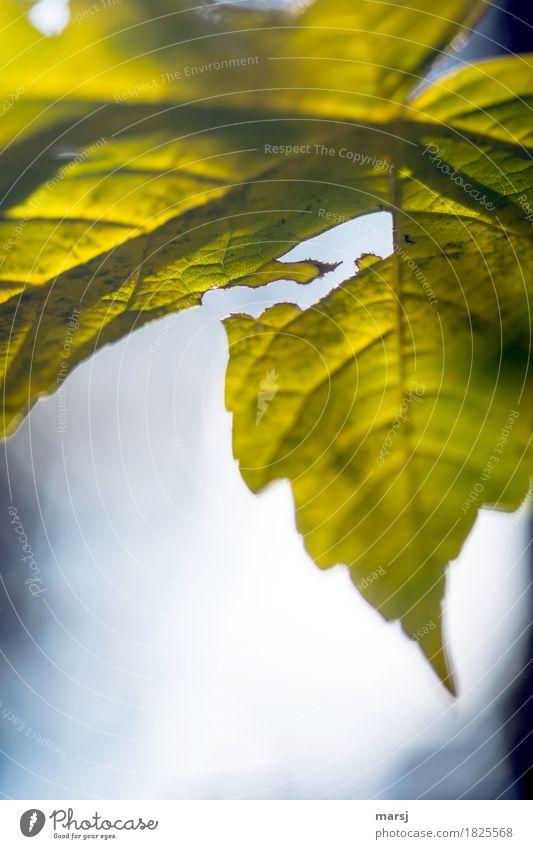 --> Nature Autumn Leaf Arrow Arrow-shaped Simple Natural Uniqueness Crack & Rip & Tear Insect spots Destruction Colour photo Subdued colour Exterior shot