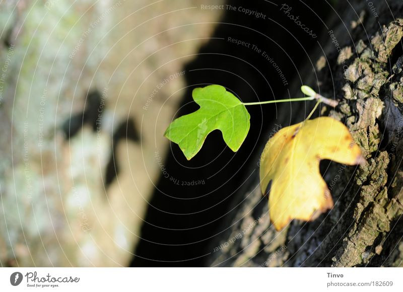 RENEWS Colour photo Close-up Morning Light Shadow Contrast Shallow depth of field Nature Autumn Tree Leaf Park Change Future Tree bark Twin offshoot