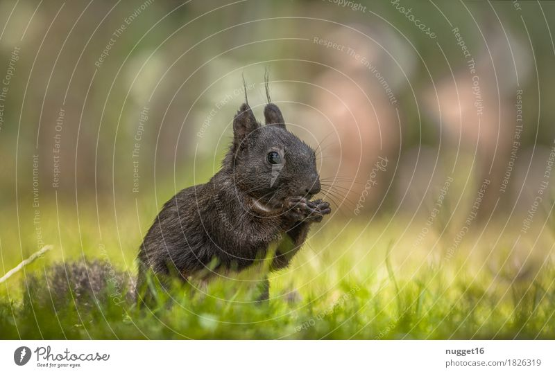 black beauty Environment Nature Animal Grass Garden Park Meadow Forest Wild animal Animal face Pelt Claw Paw Zoo Squirrel 1 Observe To feed Feeding Esthetic