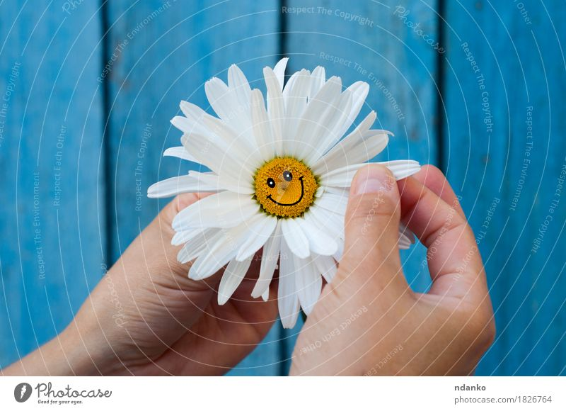 Chamomile with a smile in human hands on blue blurred background Plant Blue Flower Hand Joy Face Life Blossom Love Emotions Happy Friendship Arm Happiness