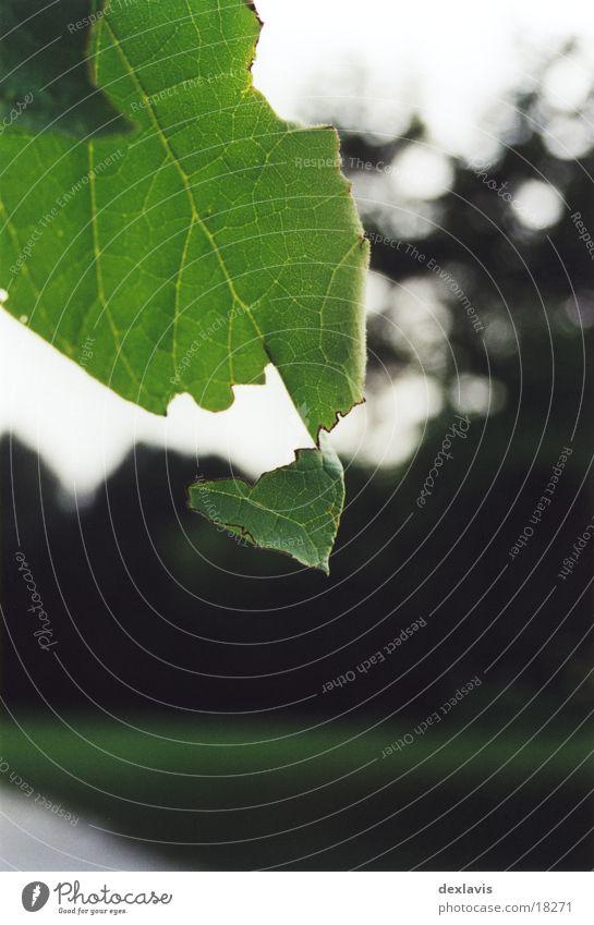 hanging on Leaf Tree Vessel Crack & Rip & Tear
