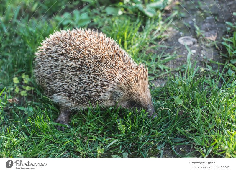 Hedgehog on green grass Summer Garden Nature Plant Animal Grass Forest Small Natural Thorny Wild Brown Green Lawn Mammal wildlife spiny Bristles defense needle