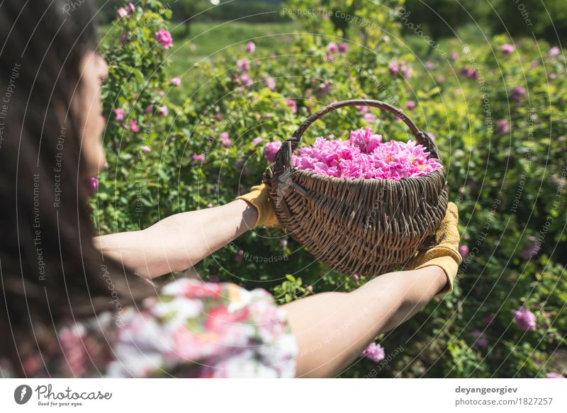 Woman picking color of oilseed roses Nature Plant Beautiful Flower Relaxation Leaf Adults Natural Garden Pink Fresh Skin Wellness Rose Beauty Photography