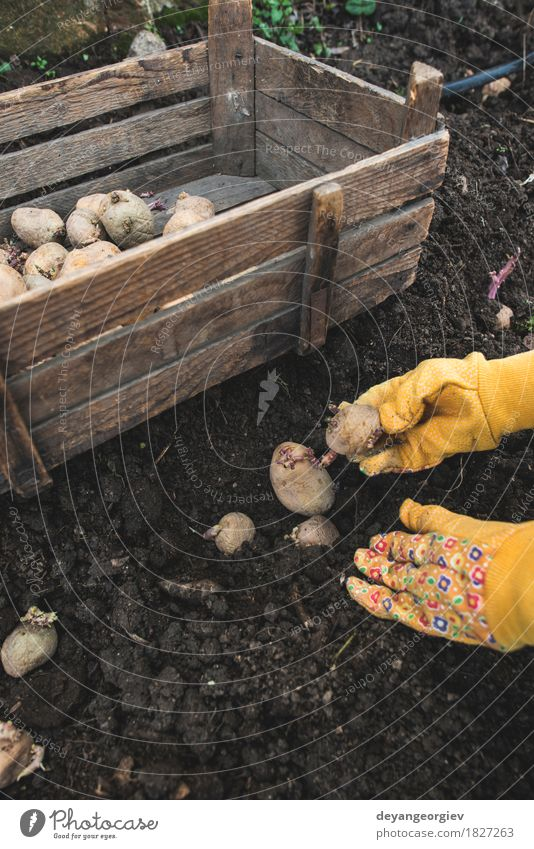 Planting potatoes in small bio garden Vegetable Garden Gardening Nature Earth Growth Fresh Natural Potatoes seed food Organic Crate agriculture spring Root