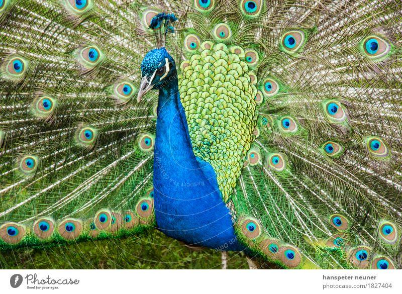Peacock, turning a wheel Pet Bird Animal face Zoo 1 Ornament Rutting season Illuminate Love Esthetic Authentic Cool (slang) Elegant Eroticism Natural Blue Green
