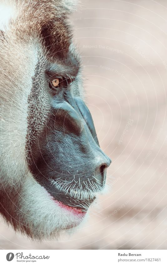 Drill Monkey (Mandrillus Leucophaeus) Portrait Nature Animal Black Natural Brown Wild Power Wild animal Observe Threat Might Strong Anger Africa Animal face