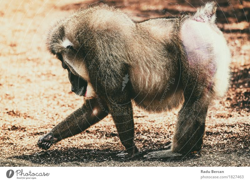 Drill Monkey (Mandrillus Leucophaeus) Portrait Nature Animal Natural Movement Brown Going Wild Wild animal Large Threat Strong Africa Mature Mammal Aggression