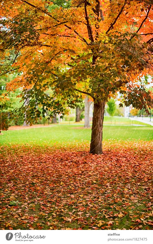 WAS WAR Nature Autumn Tree Beautiful Indian Summer folio Deciduous tree Colouring New England New Hampshire Colour photo Multicoloured Exterior shot