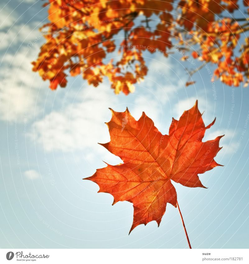Nature Beautiful Old Sky Plant Leaf Clouds Autumn Orange Weather Time Esthetic To fall Seasons Detail Beautiful weather