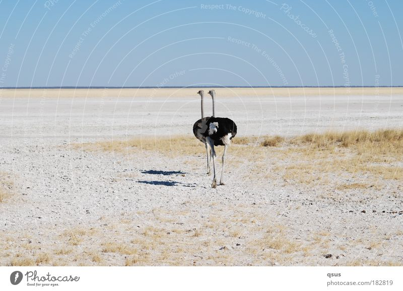 in twos Subdued colour Copy Space top Shadow Deep depth of field Animal portrait Rear view Trip Adventure Warmth Drought Desert Salt steppe Dry Plain Africa