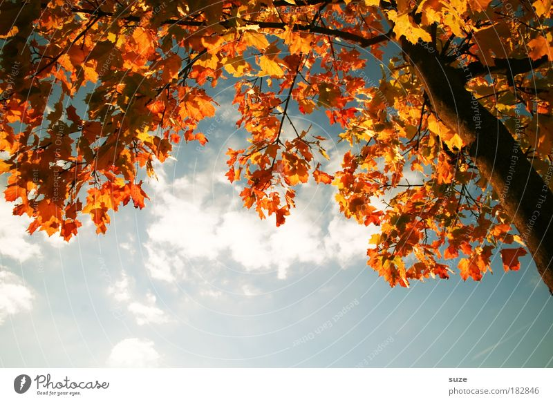 Nature Old Sky Tree Plant Leaf Clouds Autumn Environment Gold Time Esthetic Seasons Tree trunk Beautiful weather Treetop