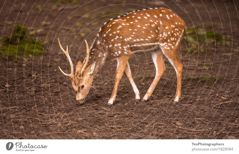 Young axis deer male searching food on ground Nature Animal Yellow Germany Brown Wild Park Elegant Point Mammal Spotted Feeding Deer Lovely Buck Pforzheim