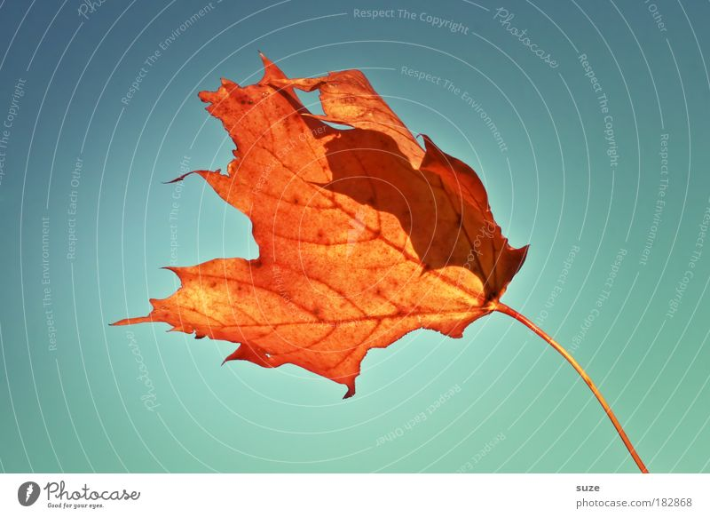 Torch in the storm Nature Sky Autumn Wind Gale Leaf Old To fall Esthetic Beautiful Dry Time Autumn leaves Autumnal Colouring Orange Early fall Colour photo
