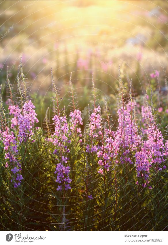 Fireweed flowers Epilobium angustifolium pink wild nature natural meadow
