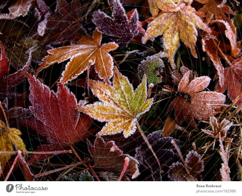 frost Nature Plant Autumn Ice Frost Leaf Park Meadow Freeze To dry up Natural Soft Multicoloured Yellow Red Warm-heartedness Calm Cold Life Transience Change