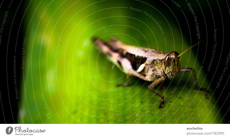 pepe Environment Nature Plant Leaf Foliage plant Meadow Animal Wing Locust House cricket Insect 1 Breathe Lie Friendliness Natural Brown Green Black Patient